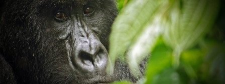 Virunga_National_Park_Gorilla.jpg